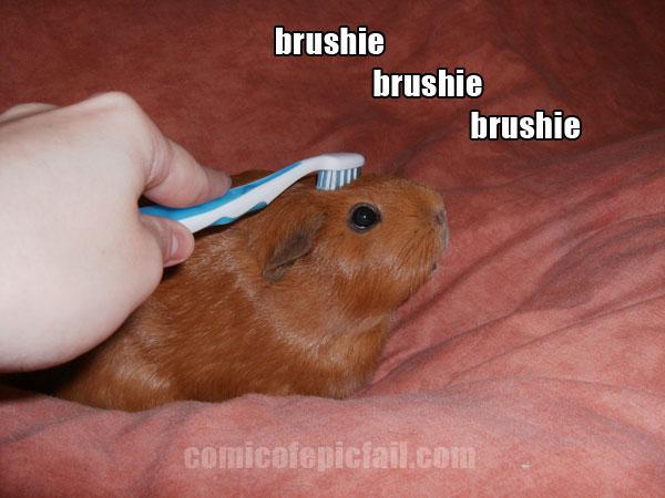 brushie brushie brushie guinea pig by amuletts of the webcomic epic fail